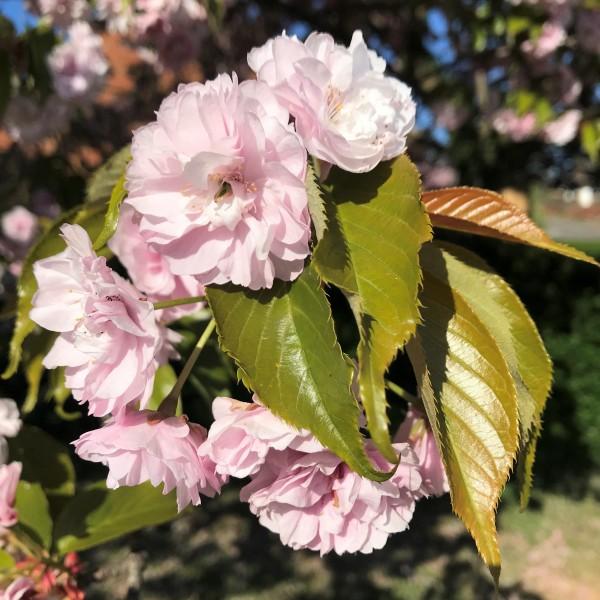 Prunus Ito kukuri