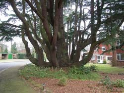 Despite all of its low layering branches, this Cedar still has a clearly defined stem