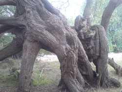 A Willow that has partially collapsed and layering
