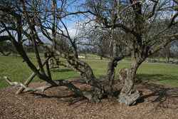 These ancient Hawthorn stems were once upright making up a typical multi stemmed tree